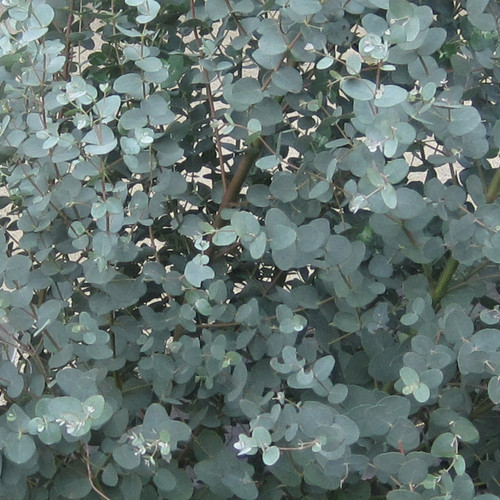 Steel Tower Eucalyptus Foliage Leaves