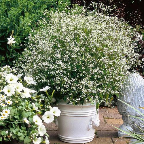 Diamond Frost Euphorbia in Planter