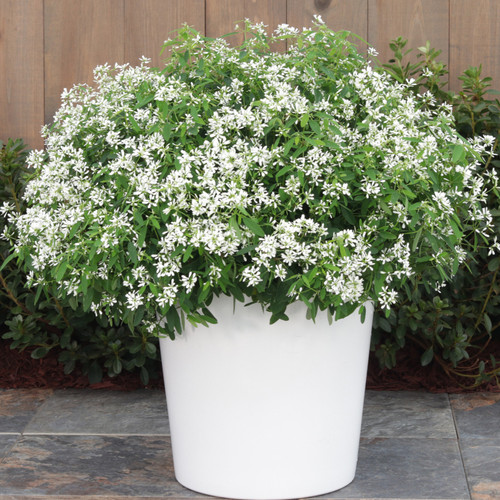 Diamond Snow® Euphorbia in Garden Planter Blooming