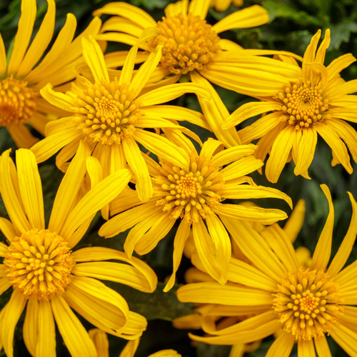 High Noon® Bush Daisy Flowers and Foliage