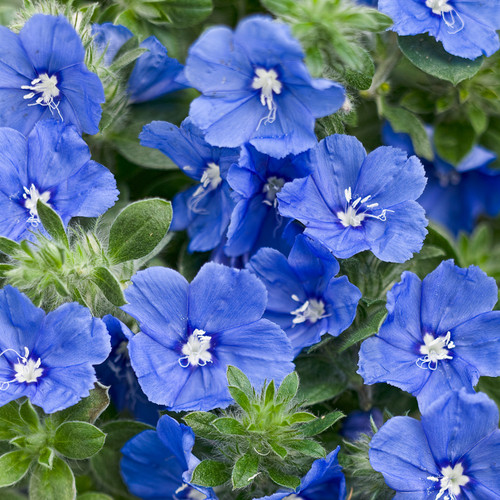 Blue My Mind® Dwarf Morning Glory Flowers and Foliage