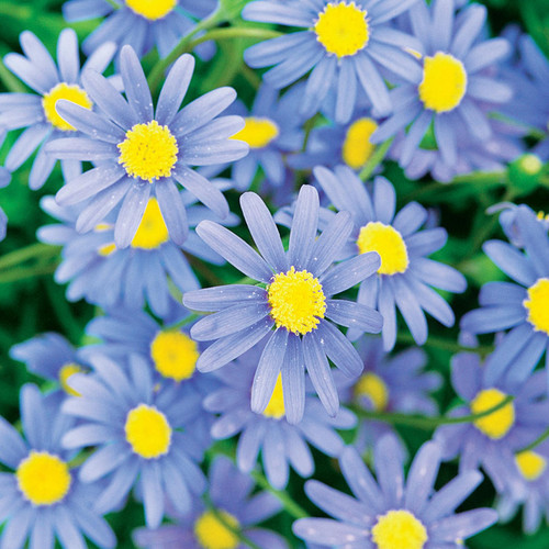 Cape Town Blue Blue Felicia Daisy Flowers and Foliage