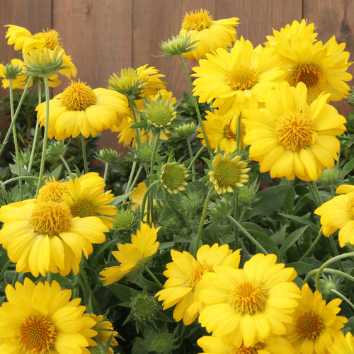 Heat it Up® Yellow Blanket Flower Plants Blooming
