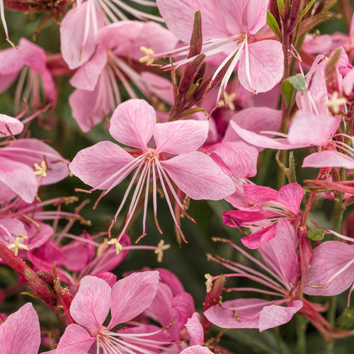 Karalee® Petite Pink Butterfly Flower Foliage and Flowers Close UP