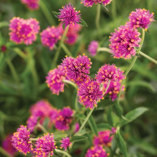 Truffula Pink Globe Amaranth Foliage and Flowers