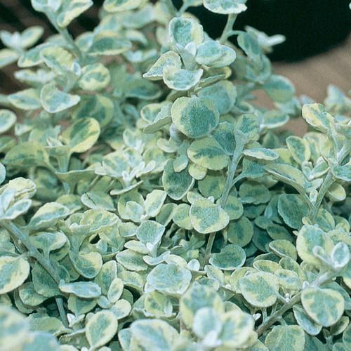 Proven Accents® Licorice Splash Licorice Plant Foliage Close Up