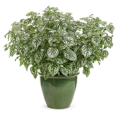 Hippo® White Polka Dot Plant in Garden Planter