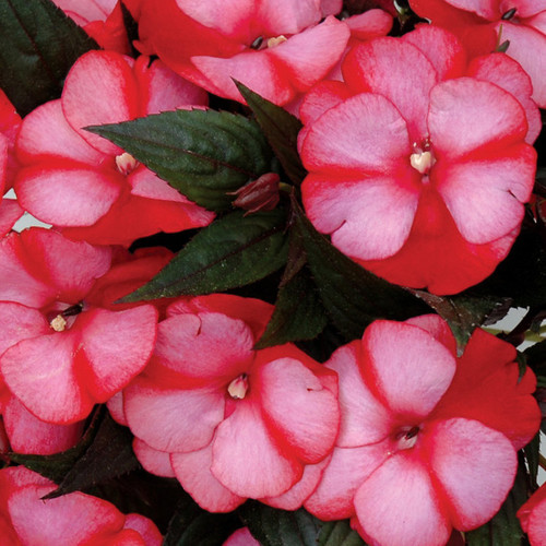 Infinity Blushing Crimson Impatiens Foliage and Flowers
