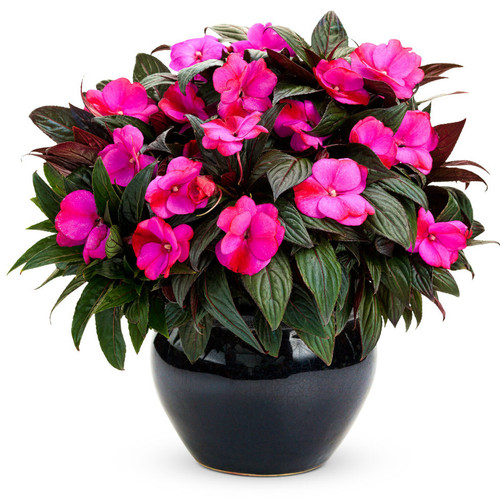 Infinity Blushing Lilac Impatiens Plant Flowering in Garden Planter