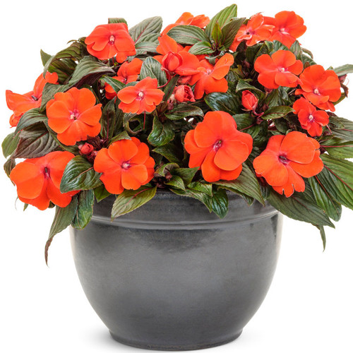 Infinity Orange Impatiens Flowering in Garden Planter