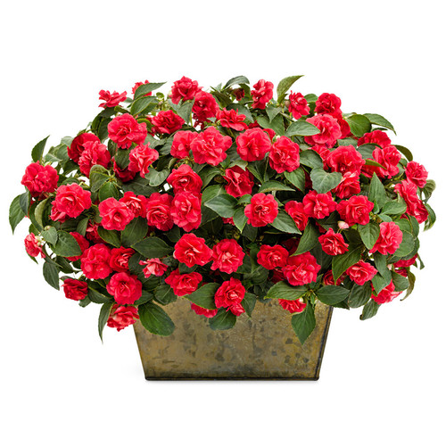 Rockapulco  Red Impatiens In a rectangular pot