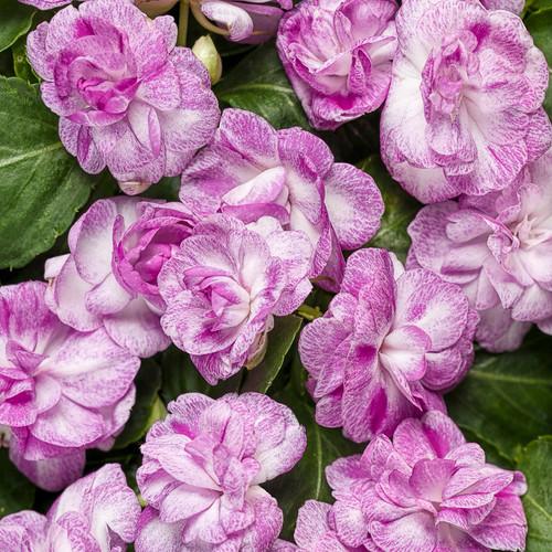 Rockapulco® Wisteria Impatiens Flowers