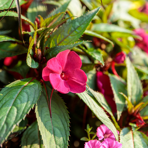 SunPatiens® Compact Neon Pink Impatiens Flowers and Foliage