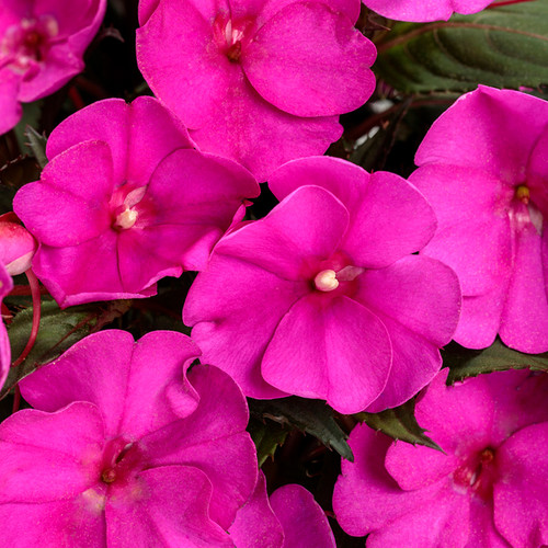 SunPatiens Compact Purple Impatiens Flowers
