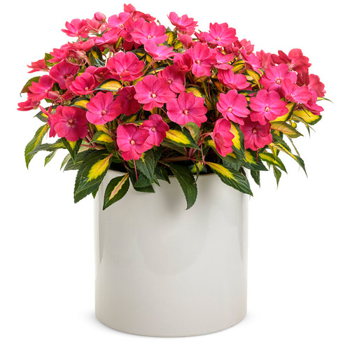 SunPatiens® Compact Tropical Rose Impatiens In a white pot