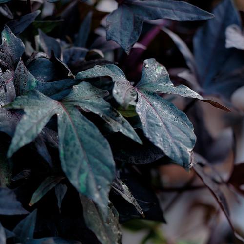 Blackie Sweet Potato Vine Leaves Close Up