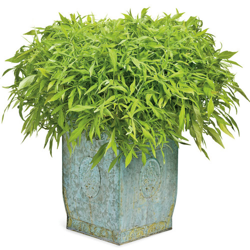 Emerald Lace Sweet Potato Vine in Decorative Pot