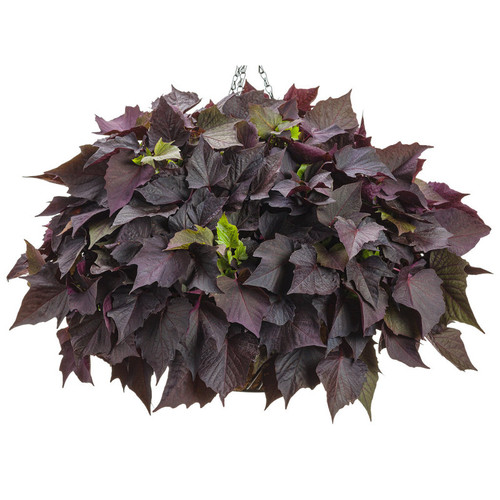 Sweet Caroline Bewitched After Midnight Sweet Potato Vine in Hanging Basket