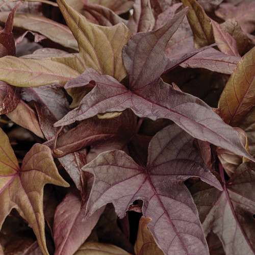 Sweet Caroline Red Hawk Sweet Potato Vine Foliage