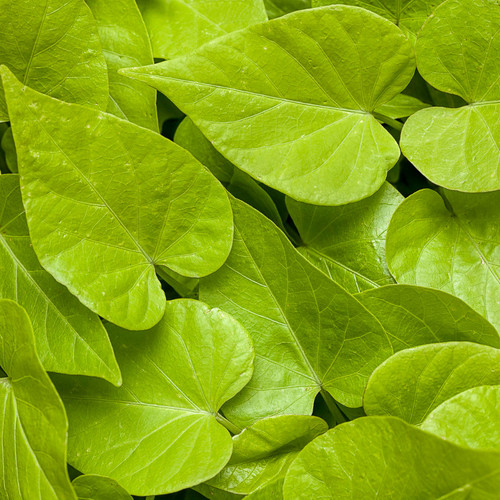 Sweet Caroline Sweetheart Lime Sweet Potato Vine Foliage