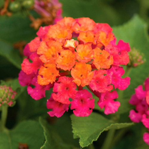 Bandana Cherry Sunrise Lantana Flowers