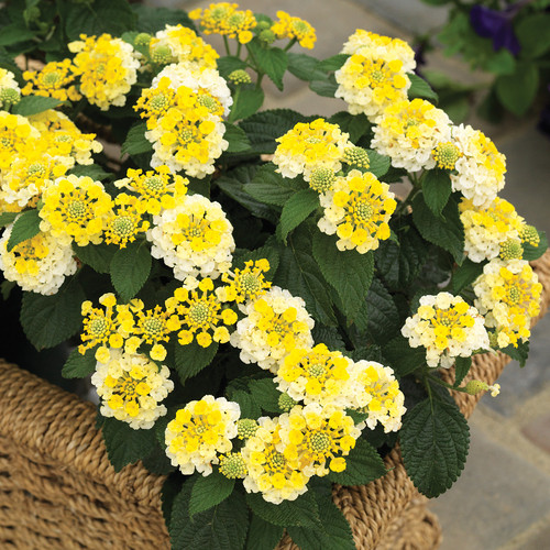 Bandana® Lemon Zest Lantana in decorative garden planter blooming