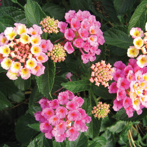 Bandana® Pink Lantana Flowers and Foliage