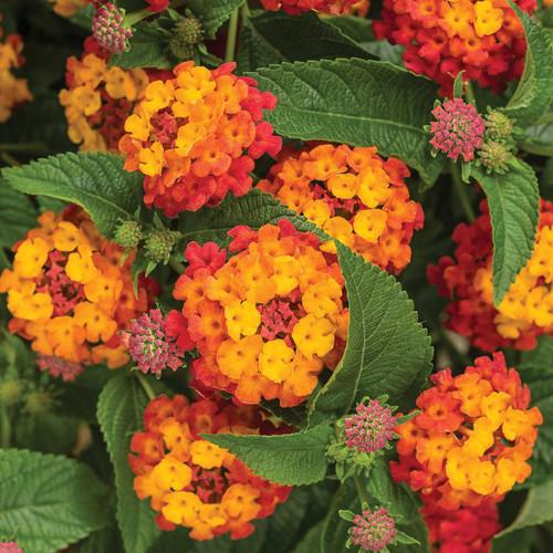 Luscious® Citrus Blend Lantana Flowers and Foliage