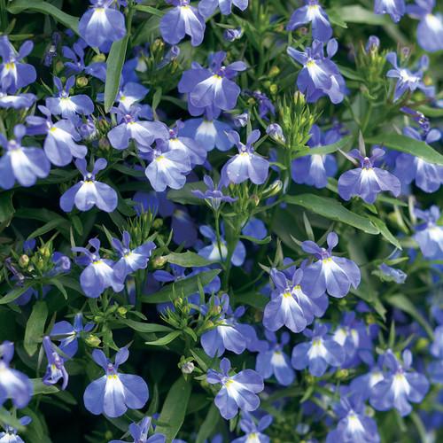 Laguna® Compact Blue Lobelia flowers and foliage