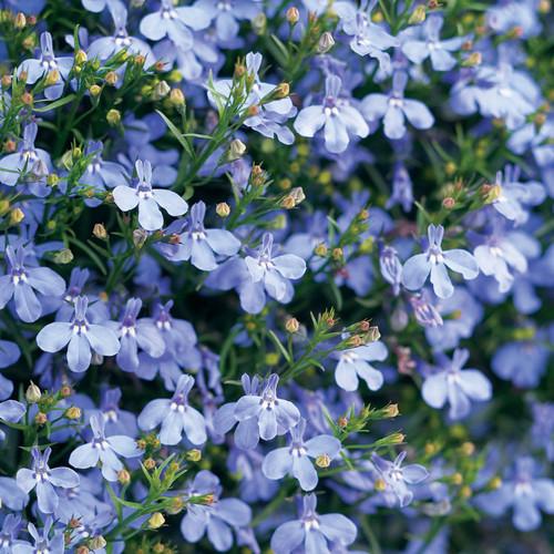 Small Laguna Sky Blue Lobelia Flowers and Flower Buds