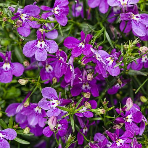 Laguna® Ultraviolet Lobelia Flowers and Foliage