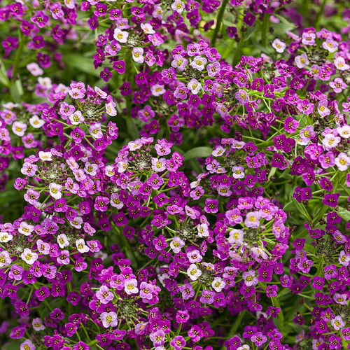 Dark Knight Sweet Alyssum Flowers Close Up