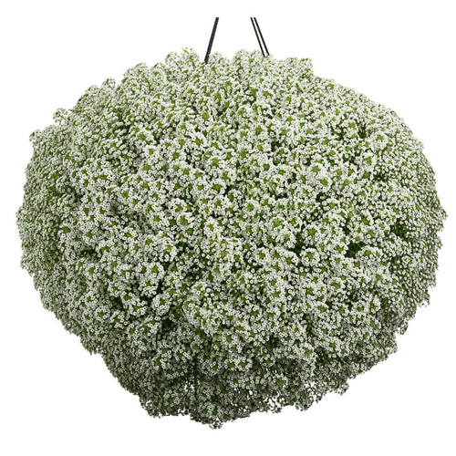White Knight® Sweet Alyssum in Hanging Planter