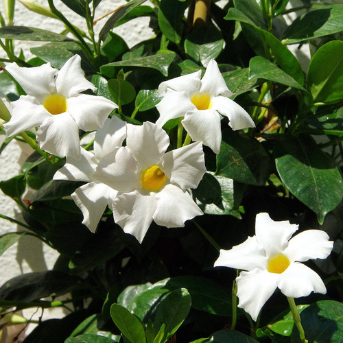 Sun Parasol® Giant White Mandevilla Flowers and Foliage