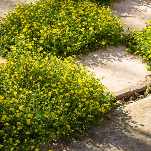 GoldDust® Mecardonia Growing Between Stepping Stones
