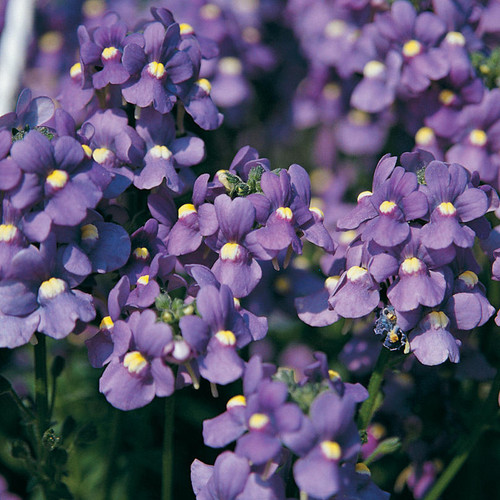 Bluebird Nemesia Blooms and Flowers Buds
