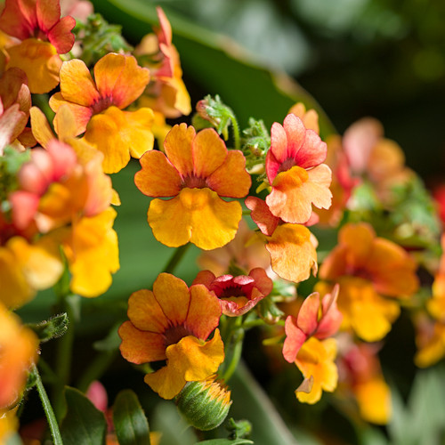 Sunsatia® Blood Orange Nemesia Flower Petals Close Up