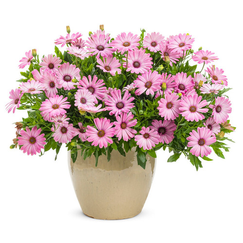 Bright Lights Pink African Daisy Plant Blooming in Garden Planter
