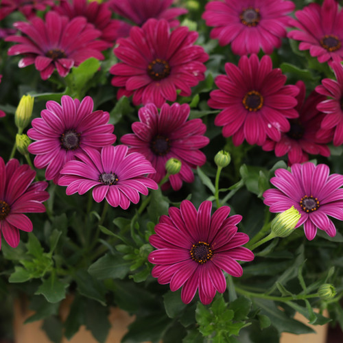 Bright Lights Purple African Daisy Foliage and Flowers