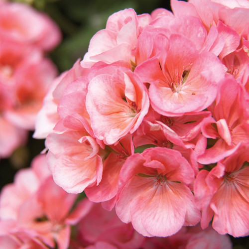 Americana® Salmon Zonal Geranium Flowers Close up
