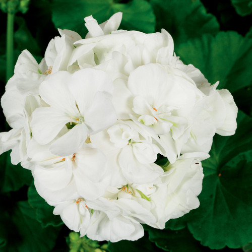 Americana® White Zonal Geranium Flower Close Up