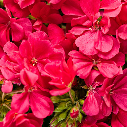 Boldly® Hot Pink Geranium Blooms and Flower Buds
