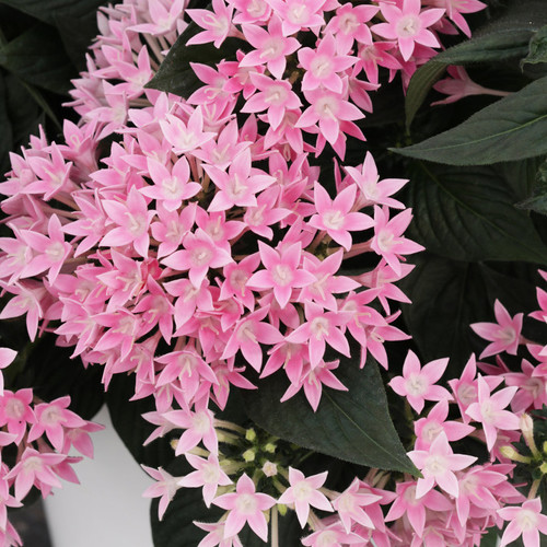 Sunstar® Pink Egyptian Star Flower Foliage and Flowers