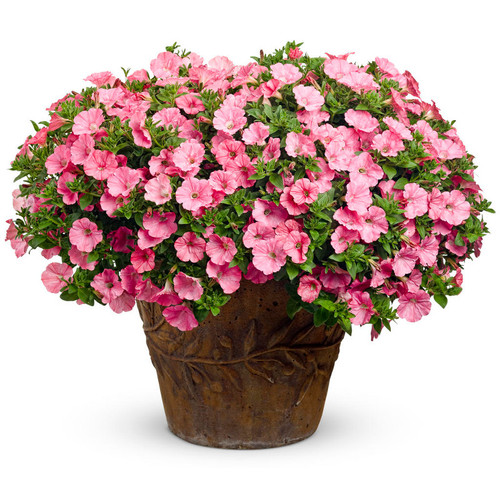 Supertunia Bermuda Beach Petunia Flowering in Planter
