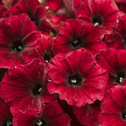 Supertunia Black Cherry Petunia Flowers Close Up