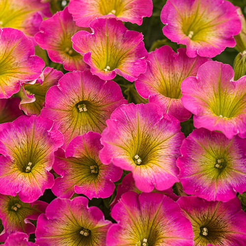 Supertunia® Daybreak Charm Petunia Flowers