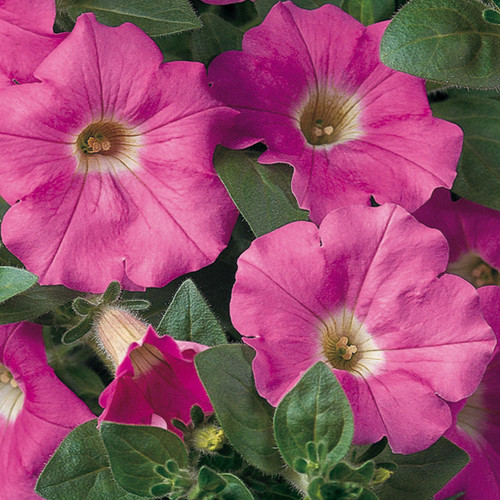 Supertunia® Giant Pink Petunia Foliage and Flowers