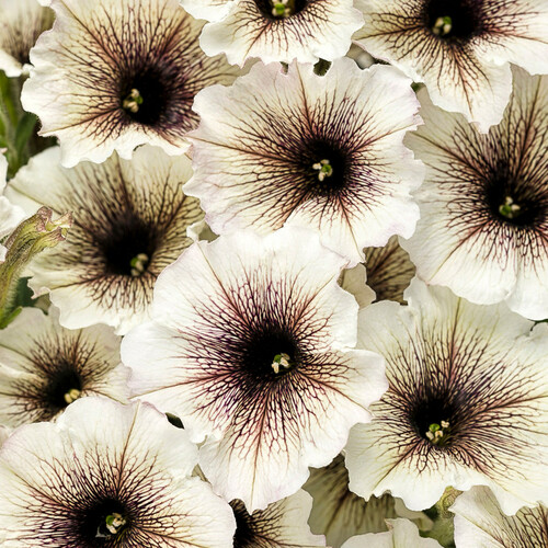 Supertunia® Latte Petunia Flowers