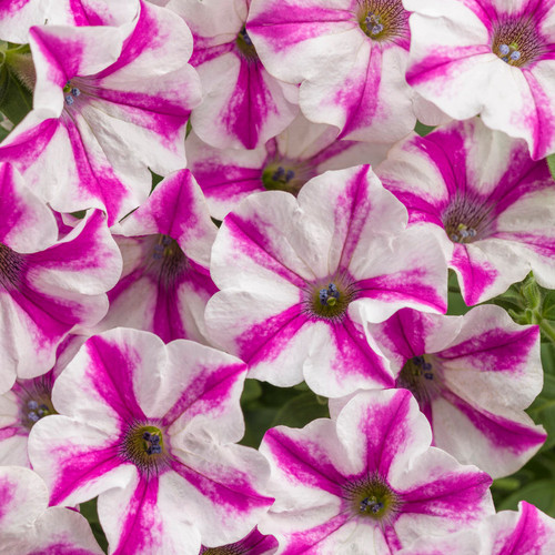 Supertunia Lovie Dovie Petunia Flowers