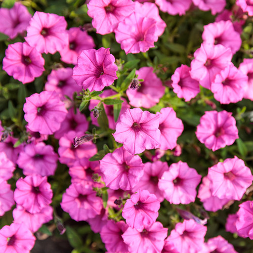Supertunia Mini Vista Hot Pink Petunia Flowers and Foliage